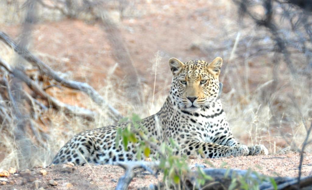 Shami, Okonjima Juvenila Leopard