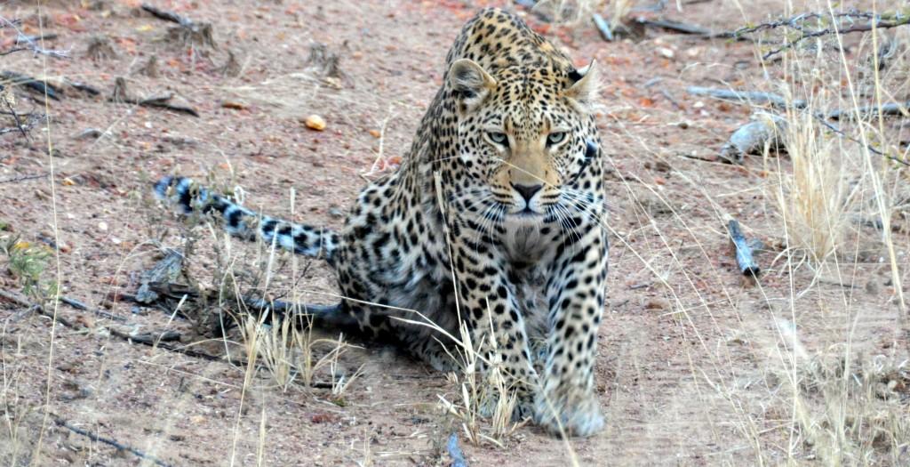Leopard Okinjima