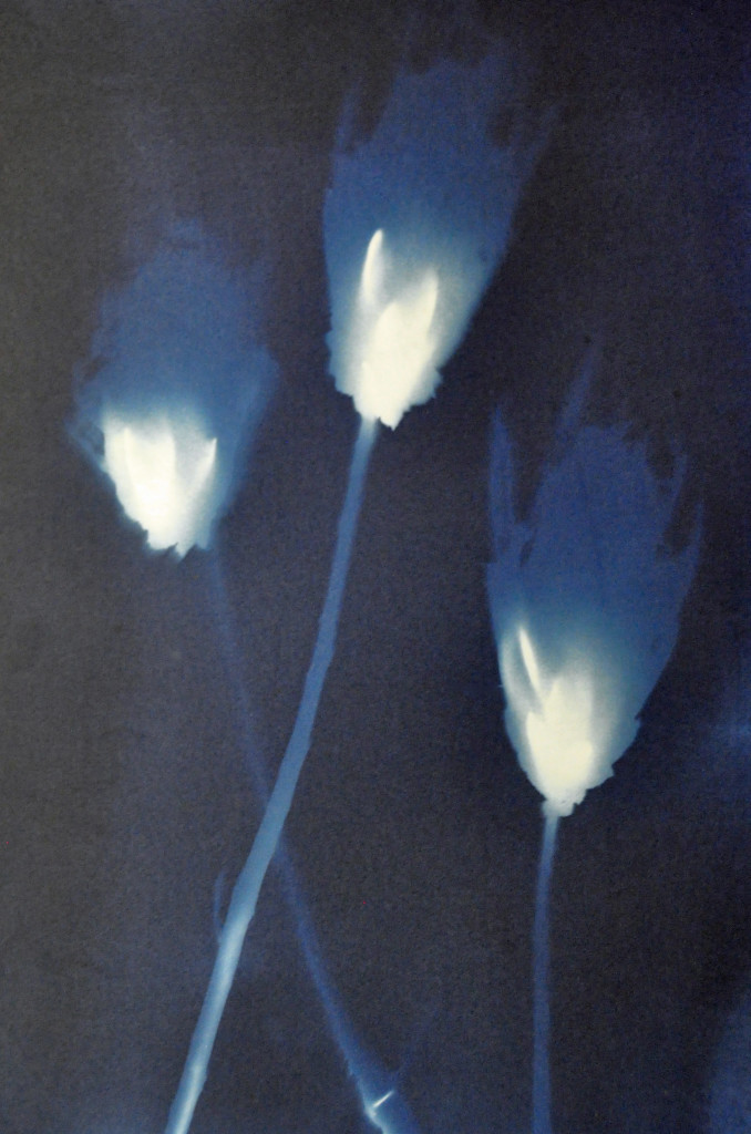 Cyanotype - thistles