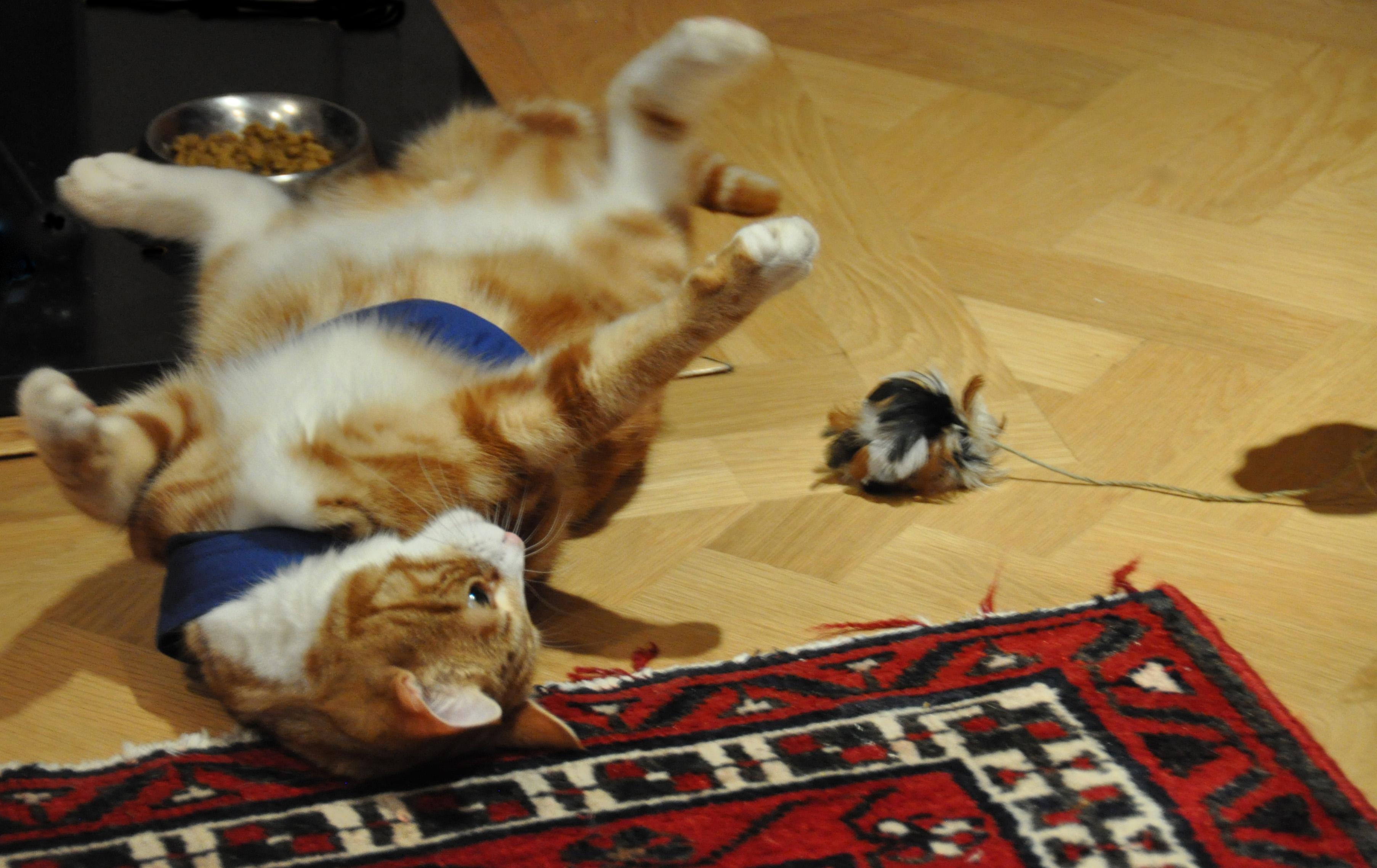 Ginger Tom - no shame