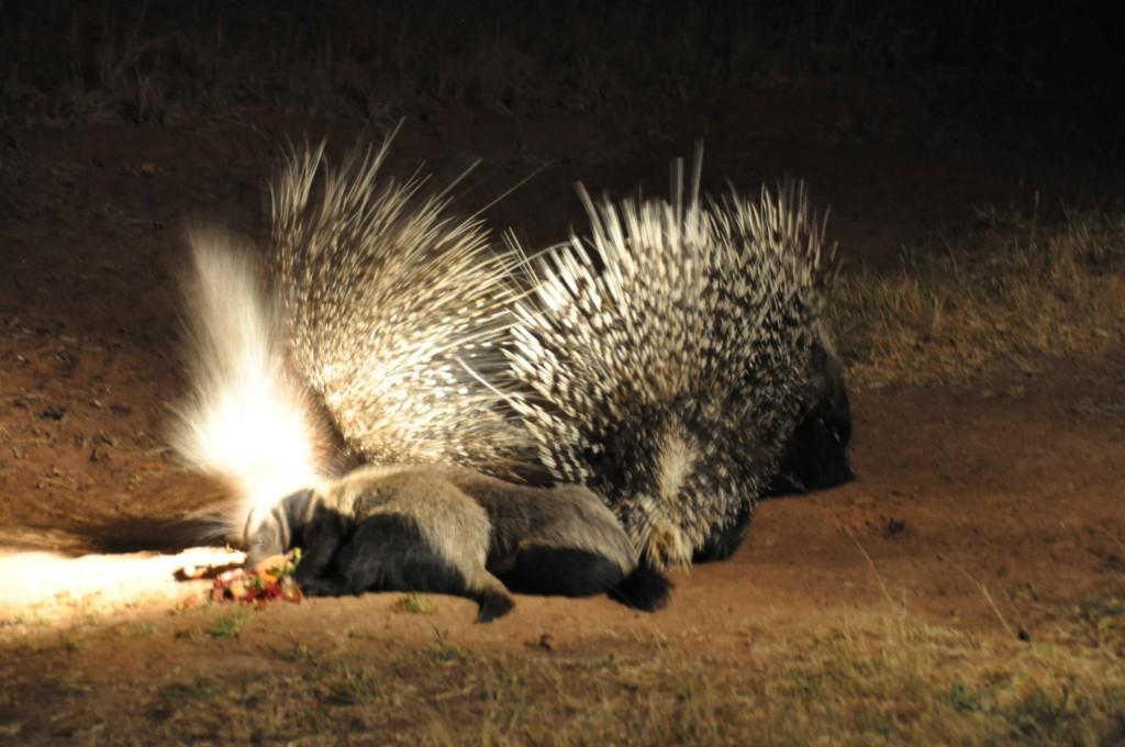 Porcupine duel