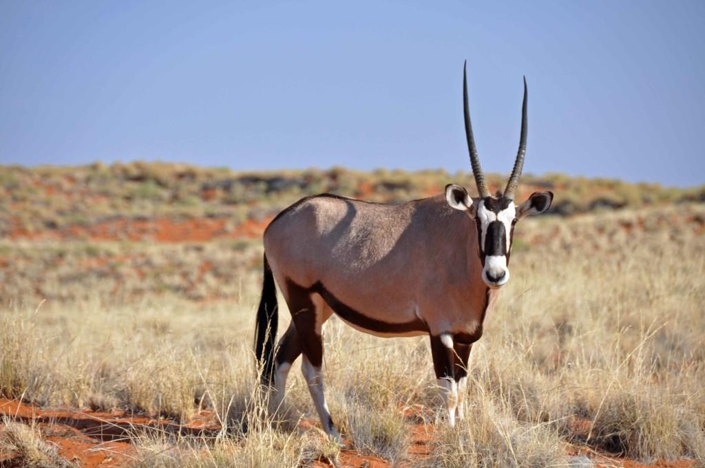 Ibex Namib Naukluft