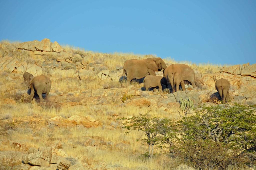 Elephant Damaraland