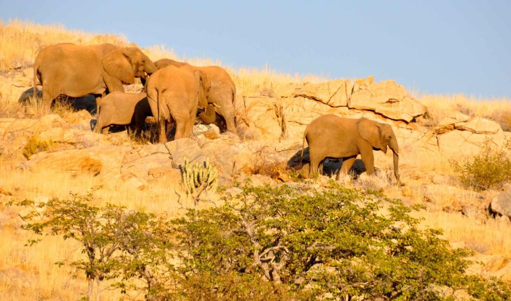 Desert Elelphants