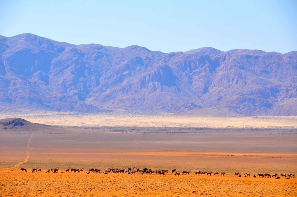 Herd Zebra, Namib Naukluft