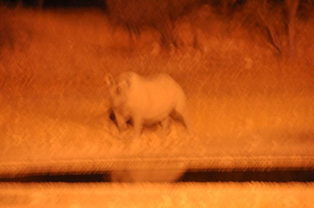 Rhino, Etosha Night