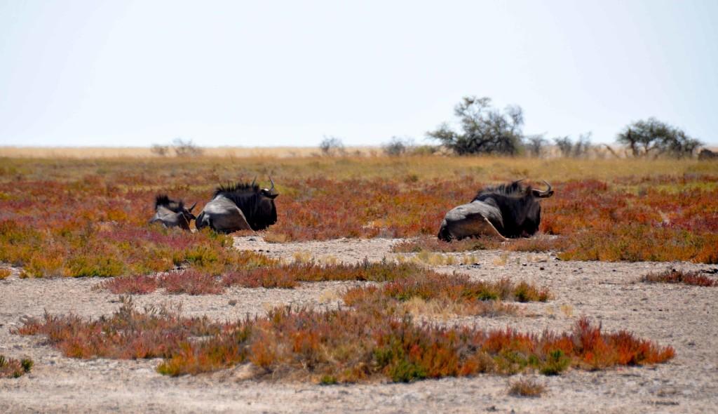 Wildebeest Etosha