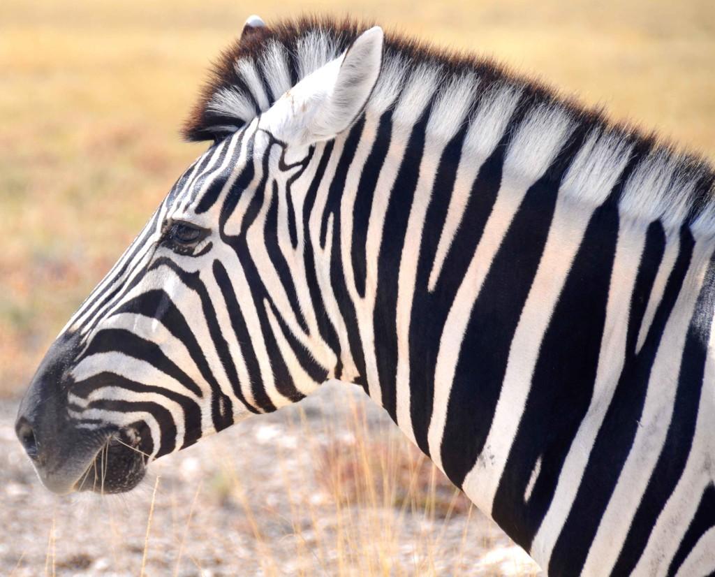 Zebra, Etosha