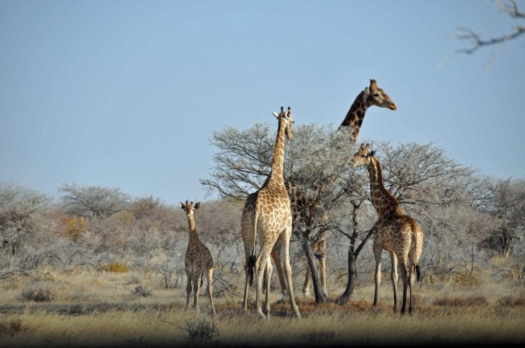 Giraffe Family, Etosha