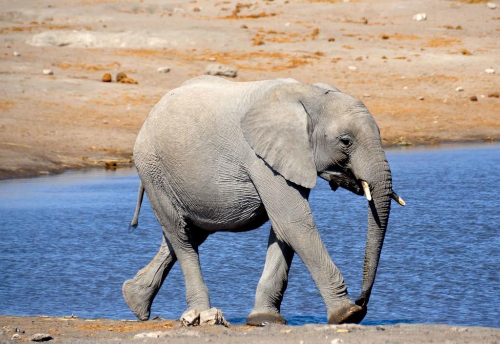 Baby Elelphant Etosha