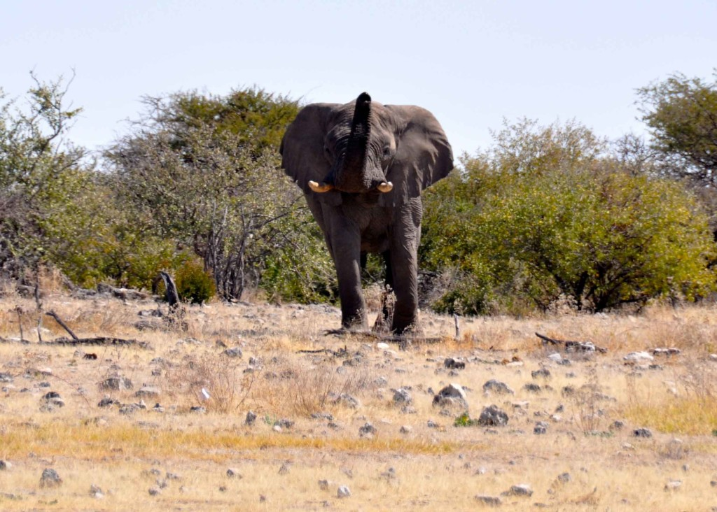 Bull Elelephant, Etosha