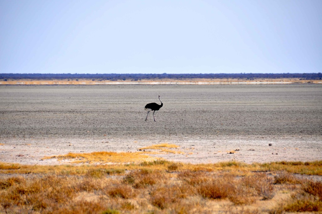 Ostrich, Etosha Salt Pan