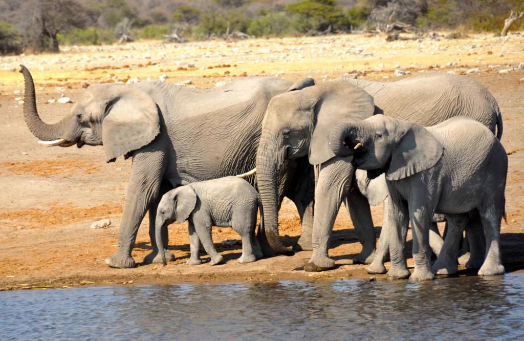 Elephant Family, Etosha