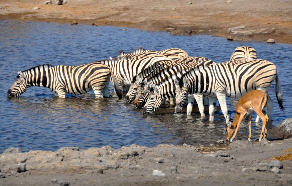 Zebra Herd, Etosha