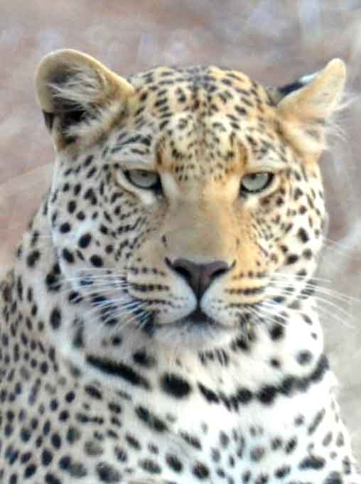 Juvenile leopard