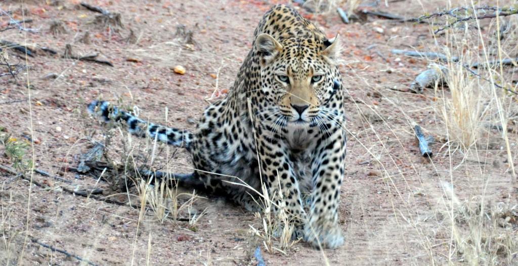 Okinjima leopard