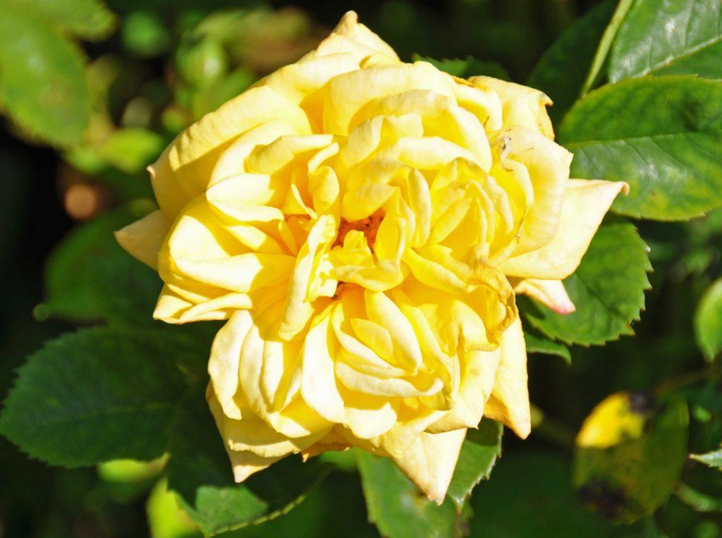 Yellow Rose 2016