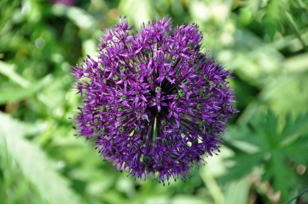 Allium 2016
